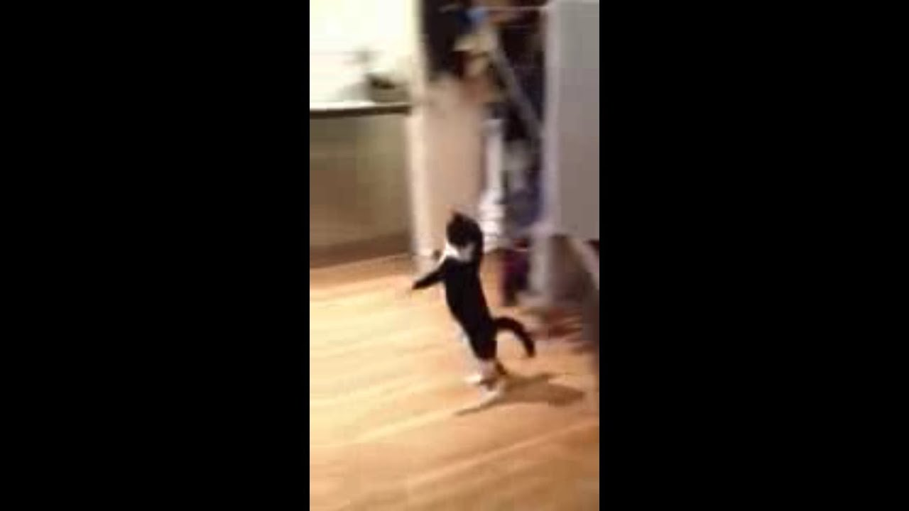 Mr Bouncy Cat - The Funny Cat Walking Cat Gif Funny