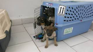 ANIPLANT PUPPIES PERRITAS PERRITOS HAVANA HABANA CUBA March 2017