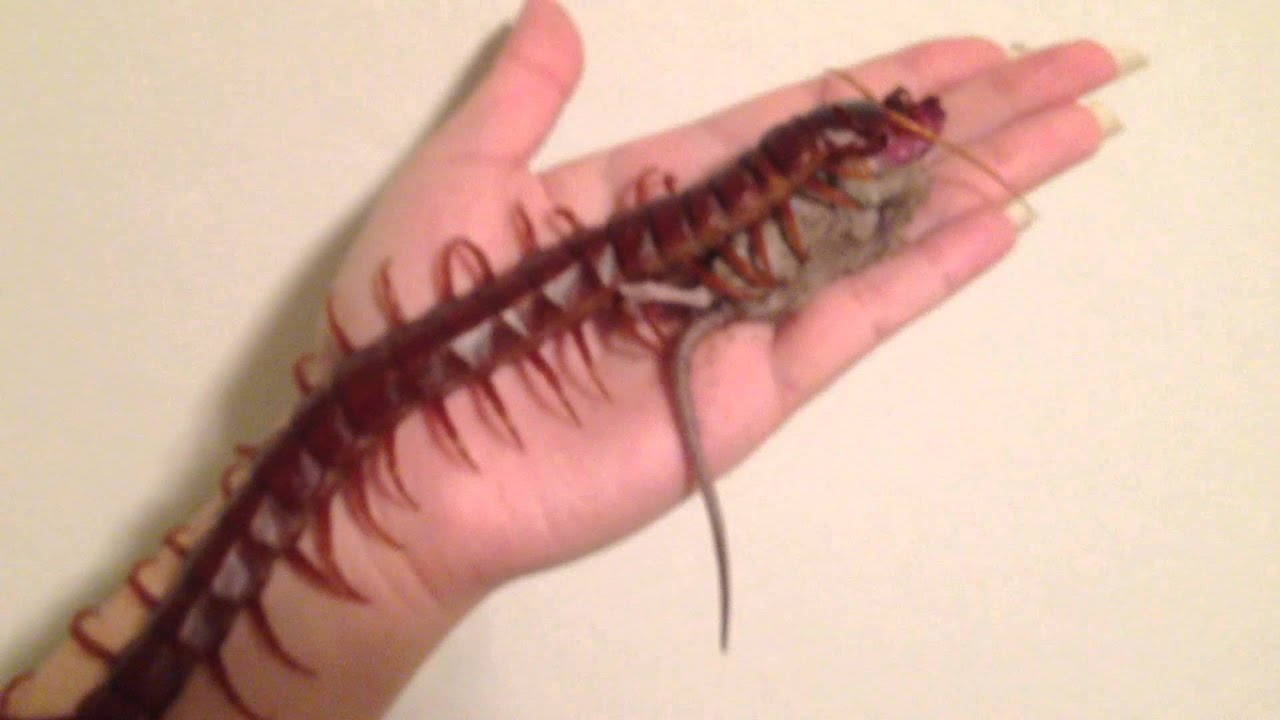 hawaiian centipede Getting rid of house centipedes  where centipedes are found centipedes usually live outside, but the house centipede you can find inside as well centipedes usually live outdoors in damp areas such as under leaves, stones, boards, tree bark, or in mulch around outdoor plantings.