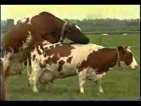 vacas encelo MSD Finca Productiva Reproduccion