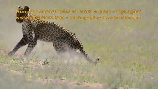 Hungry Leopard tries to catch a meal - Kgalagadi Park