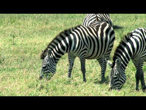 Африканское сафари кения танзания