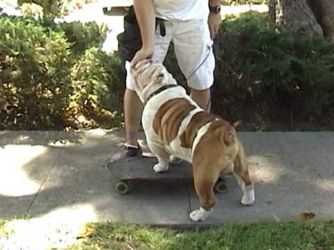 How to train your dog to skateboard PART 2