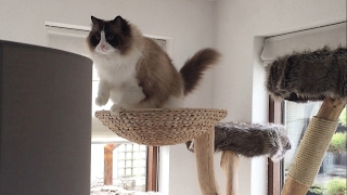 Timo the Ragdoll Cat-  Chasing Magic Butterflies