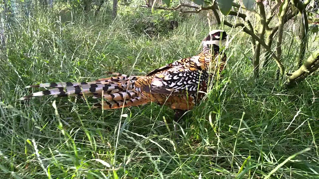 Reeves Pheasant Call Reeves Pheasant Male Call