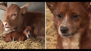 Perrito llora al separarse de la vaca que lo crió 🐕✅