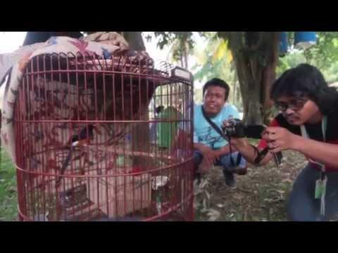 Piala Panglima Tni - Pemenang 50 Juta Murai Batu Gacor video