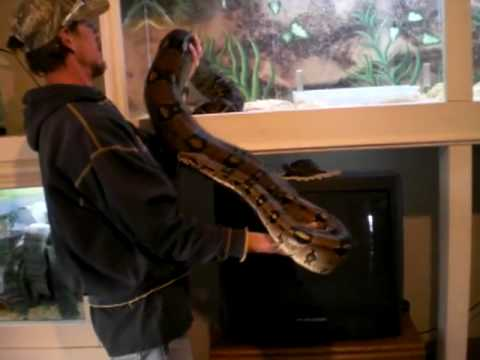 Dexter the Red Tail Boa Constrictor Video