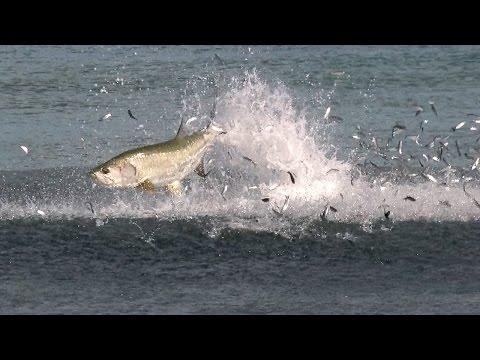 息をのむほどのボラの大群と捕食するサメの映像