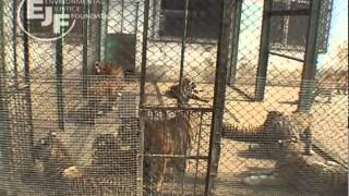 Tigers in Danger--End Tiger Trade