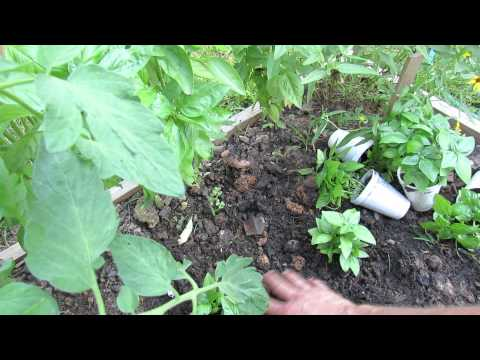 Pinching Off Basil Flowers and How to Grow Basil All Season Long - The Rusted Garden 2013
