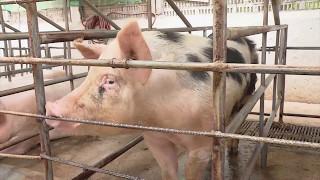 Infraestructura de los cerdos según la edad | La Finca de Hoy