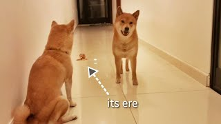he gud boi but not very wise / Shiba Inu
