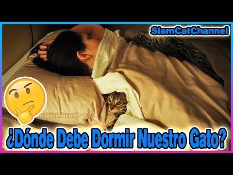 ¿Dónde Debe Dormir Tu Gato? - SiamCatChannel