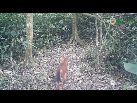 Dhole, Cuon alpinus, pack pass by.