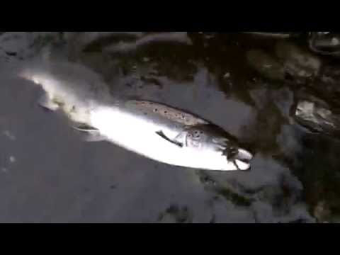 the catch and release of wild rod caught salmon