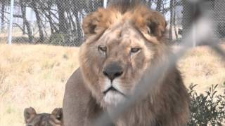 UPDATE FOUR PAWS lion rescue: a few days after the transfer