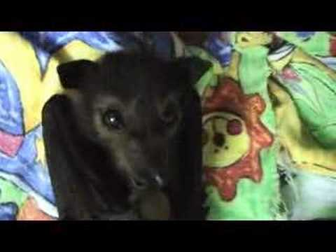 Cute baby Fruit Bat Video