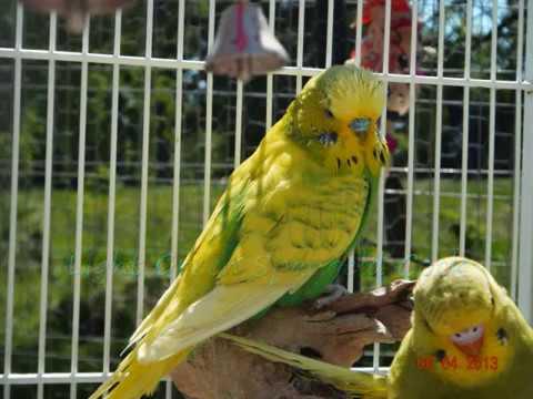 Budgie Parakeet Budgie/parakeet Mutation Guide