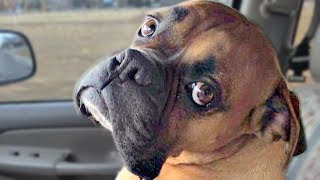 Funny Boxer Dog Compilation NEW