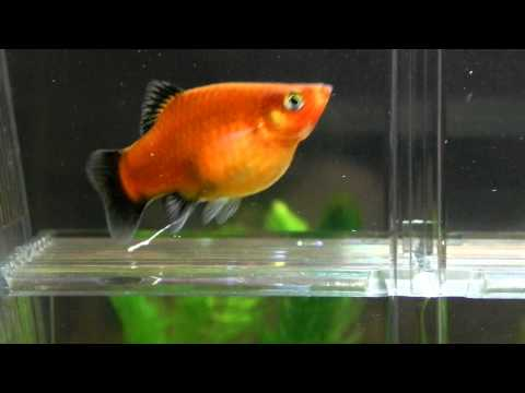 How to tell that your guppy will give birth soon squared for How long is a guppy fish pregnant