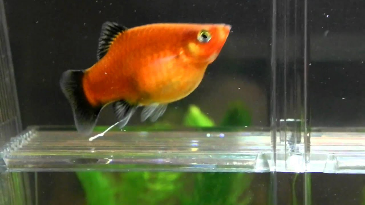 is my platy pregnant giving birth soon youtube