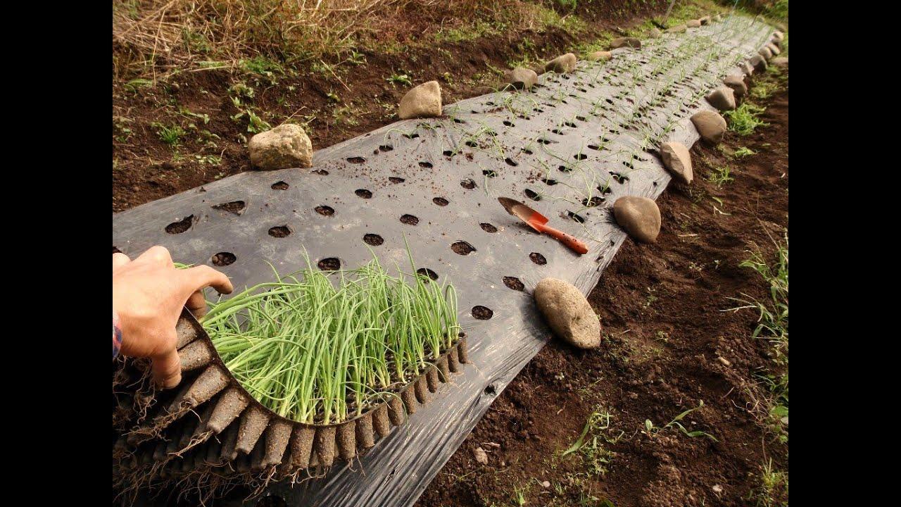 Технология выращивания лука из семян на перо 22