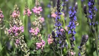 Steppensalbei (Salvia nemorosa)