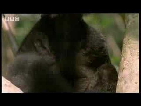 Black lemur on drugs - BBC wildlife Video