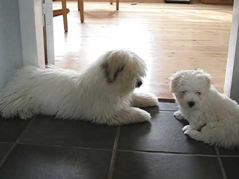 Photo of 2 cute puppies having lots of fun - Coton de Tul�ar