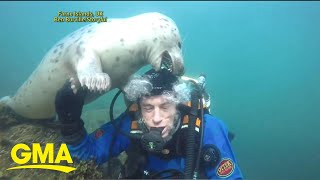Friendly grey seal tries to remove diver's helmet l GMA