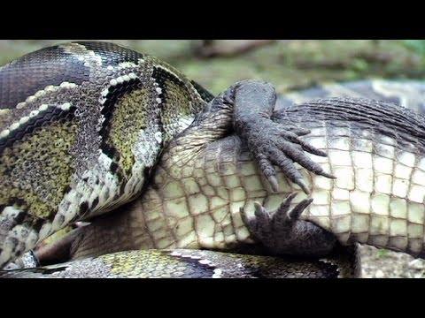 Python Eats Alligator 03 Time Lapse Speed X12 Reverse