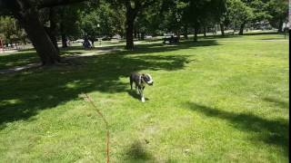 Dog Training | recall with Ginger out at a local park | Solid K9 Training Dog Training