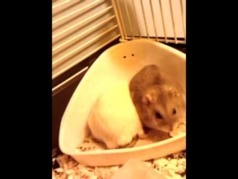 The Horny Hamster video