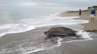 World's Biggest Turtle Found... Must Watch!