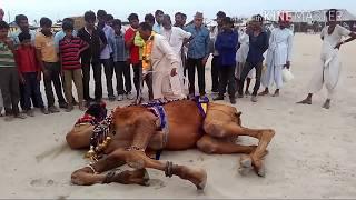 Camel funny videos india 2016 in gujrat