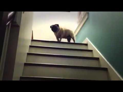 Мопс поднимается по лестнице