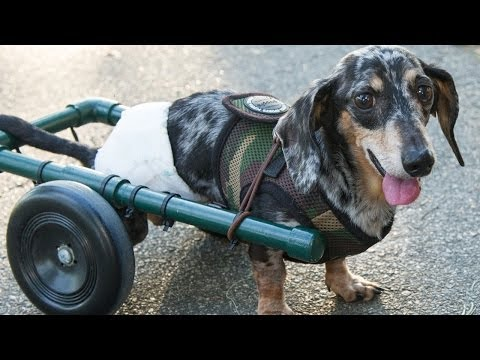 Paralyzed Dog Gets Wheels - Ricky Bobby Music Videos