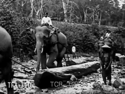 Teak Logging With Elephants In Siam 1925