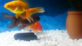 Fish make love Goldfish spawning