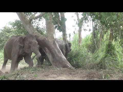 Elephants off their chain for the first time Full HD