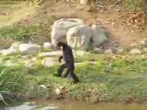 Hilarious Gibbon Ape (not actually a Monkey)