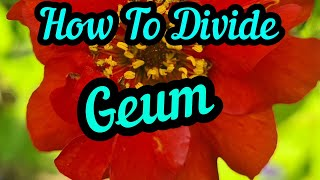 FREE GEUM HOW TO DIG UP AND DIVIDE