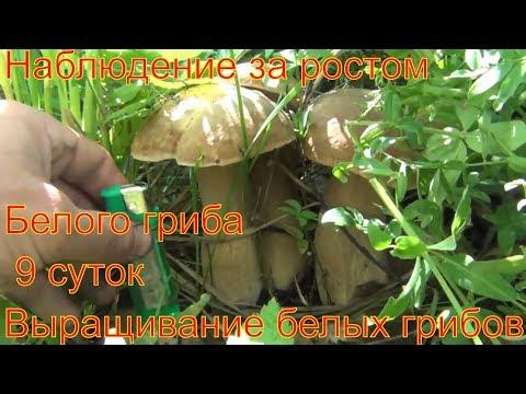 Белые грибы выращивание Наблюдение за ростом белого гриба растет 7 суток