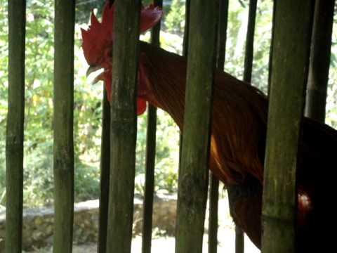 Ayam Pelung Sea Lawung video