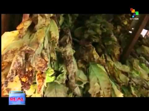 The Real USA - Child labor on tobacco plantations