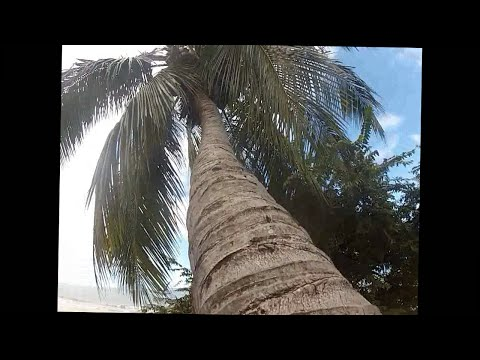 climbing  a coconut tree in tamarindo costa rica