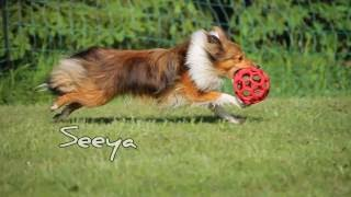 Sheltie Seeya on recent agility trainings