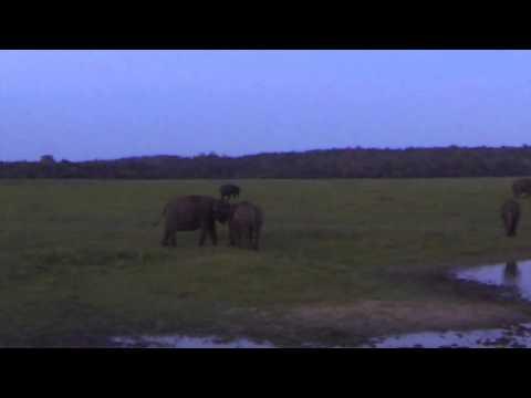 Elephants - Kaudulla National Park - Sri Lanka