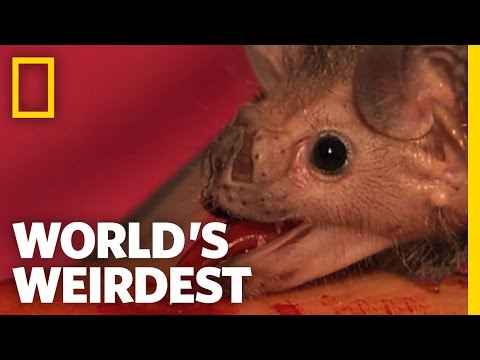 World's Weirdest - Vampire Bats